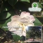 Camellia japonica x luthuensis Cinnamon Cindy