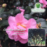 Camellia sasanqua Jennifer-Susan