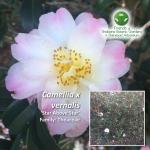 Camellia x vernalis Star Above Star