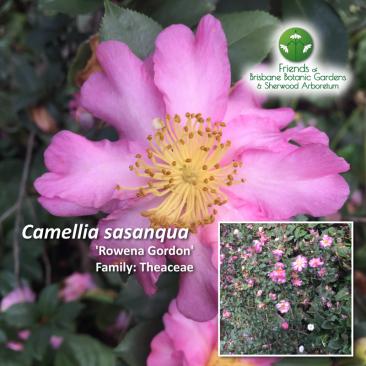 Camellia Rowena Gordon