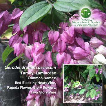 Clerodendrum x speciosum Brisbane Botanic Gardens