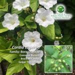 Cordia superba Brisbane Botanic Gardens