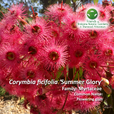 Corymbia ficifolia 'Summer Glory'
