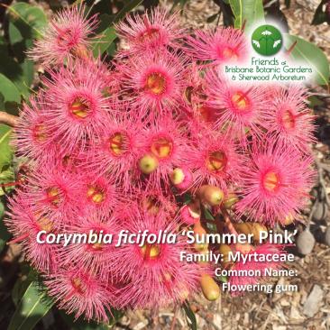 Corymbia ficifolia 'Summer Pink'