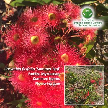 Corymbia ficifolia 'Summer-Red'