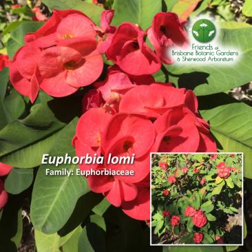 Euphorbia lomi