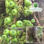 Ficus congesta
