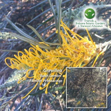 Grevillea 'Bush Lemon'