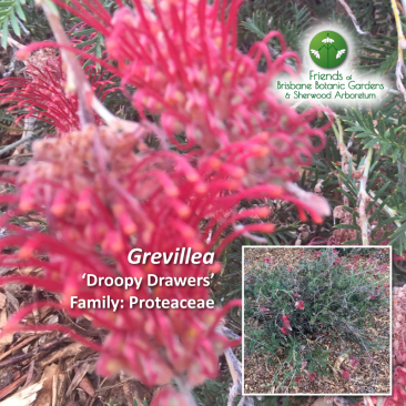 Grevillea - Droopy Drawers