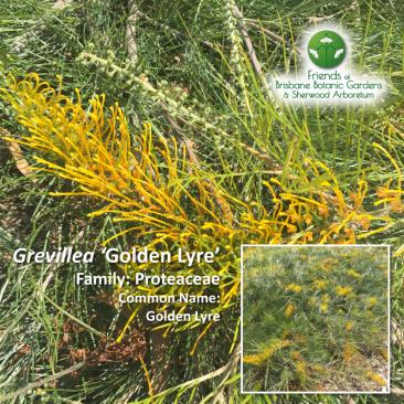 Grevillea 'Golden-Lyre'