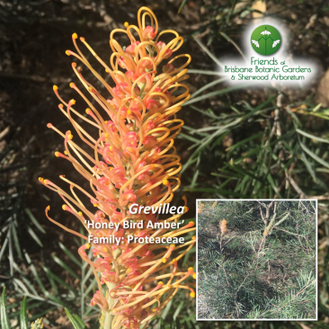 Grevillea 'Honey Bird Amber'