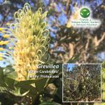 Grevillea 'White Candelabra'