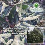 Grevillea baileyana
