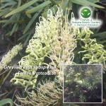 Grevillia- exul subsp exul