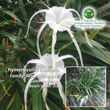 Hymenocallis littoralis Brisbane Botanic Gardens