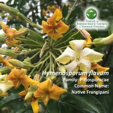 Hymenosporum flavum