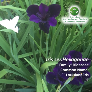 Iris ser. hexagonae