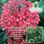 Ixora coccinea Brisbane Botanic Gardens