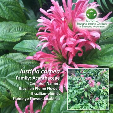 Justicia carnea Brisbane Botanic Gardens