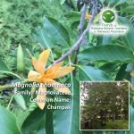 Magnolia champaca Brisbane Botanic Gardens