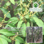 Mallotus phillippensis