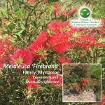 Melaleuca 'Firebrand'