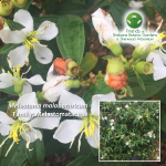 Melastoma malabathricum