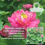 Nelumbo-nucifera