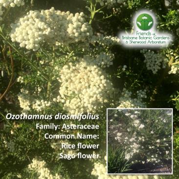 Ozothamnus diosmifolius