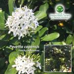 Pavetta capensis