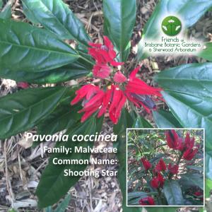 Pavonia coccinea