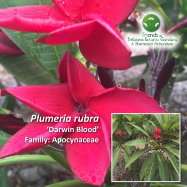Plumeria rubra - Darwin Blood