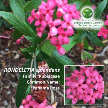 Rhondeletia splendens
