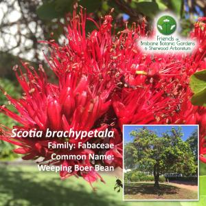 Scotia brachypetala