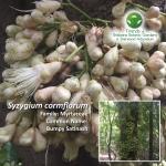 Syzygium cormflorum