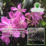 Tibouchina granulosa Brisbane Botanic Gardens