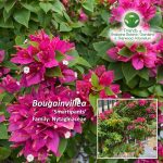 Bougainvillea 'Smartipants'