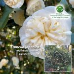 "Camelia japonica ""Brushfield's Yellow"""