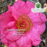 "Camelia japonica ""Drama Girl"""