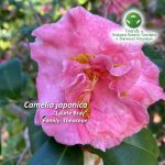 """Camelia japonica """"Laurie Bray"""""""