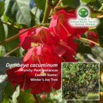 Dombeya cacuminum