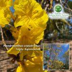 Handroanthus crysotrichus