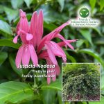 Justicia Nodosa 'Pretty in pink'