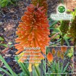 "Kniphofia ""Winter""Cheer"""
