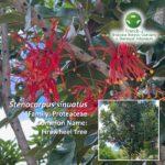 Stenocarpus sinuatus Photo: Mary Jo Katter