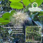 Syzygium fibrosum