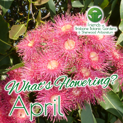 Whats Flowering in Brisbane Botanic Gardens & Sherwood Arboretum April