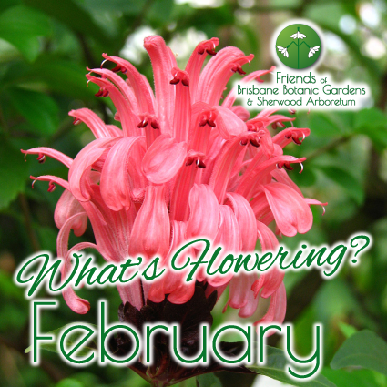Whats Flowering in Brisbane Botanic Gardens & Sherwood Arboretum February