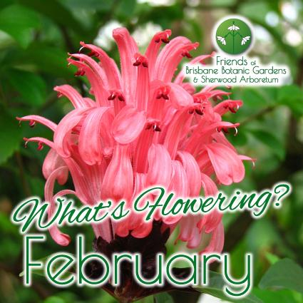 Whats Flowering in Brisbane Botanic Gardens & Sherwood Arboretum February