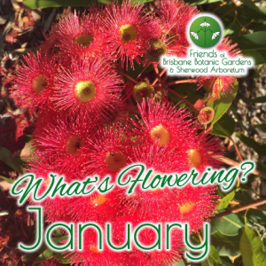 Whats Flowering in Brisbane Botanic Gardens & Sherwood Arboretum January